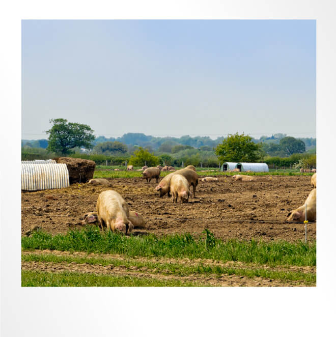 Pig Farm Polaroid Photo